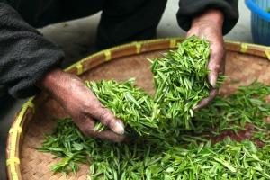 Tee-Ernte