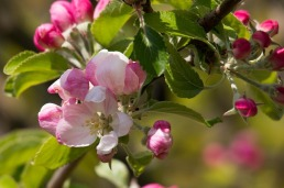 apple-blossom-739217_640