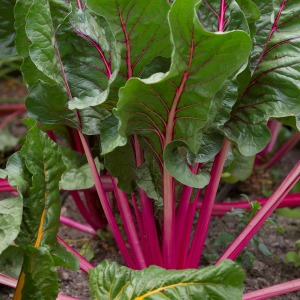 beetroot-pflanze