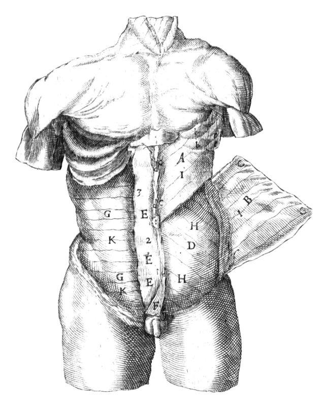 Anatomie-Bauchmuskeln