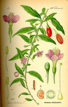 Pflanze mit Goji-Beere