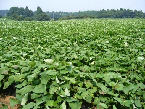 sweet-potato-fieldkatori-cityjapan