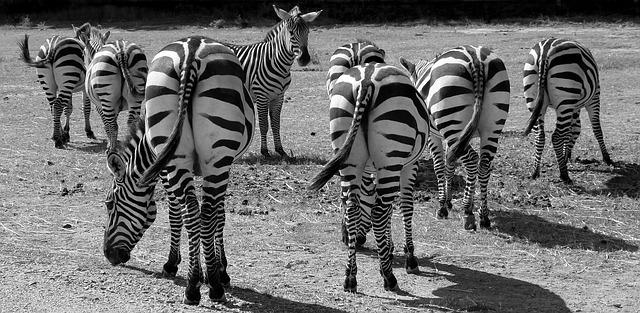 zebras-1081445_640