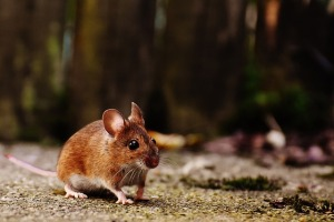 mouse-1708347_640