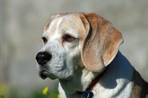 2017-03_beagle