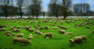2017-03_sheep