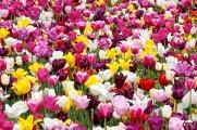 2017-03_tulip-field