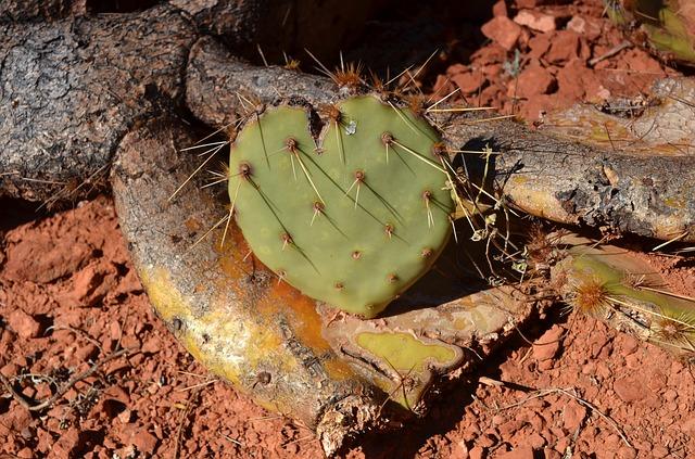 Herz-Kaktus
