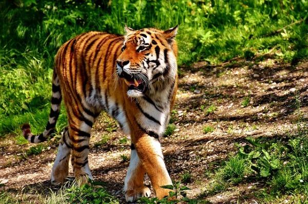 tiger-2466320_640