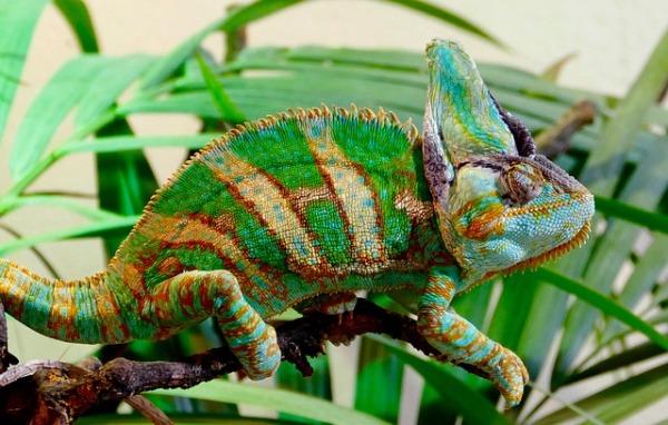 12-chameleon