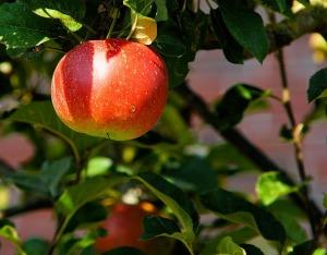 02-02-2018-apple-tree
