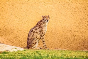 04-18-leopard