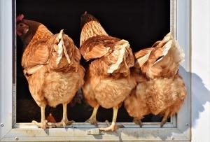 chicken-3607863_640