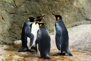 king-penguin-384252_640