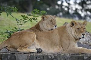 lions-1903656_640